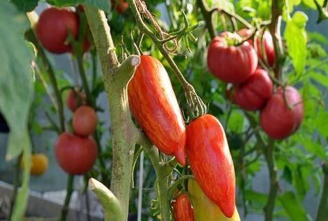 Огненный томат для теплиц – искры пламени, подробности агротехники и описание сорта
