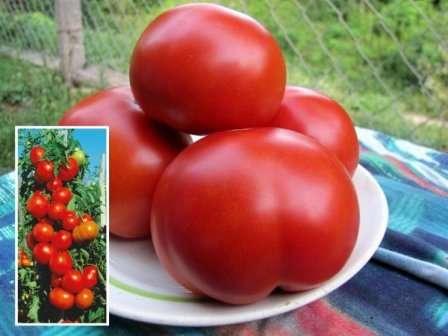 Высокоурожайный томат «красным красно f1»: описание сорта, характеристика и фото