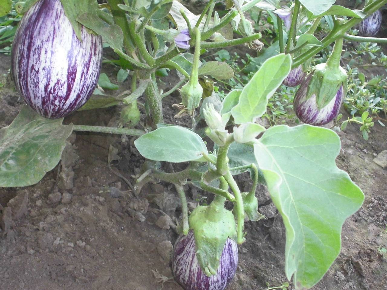 Баклажаны: сорта без горечи
