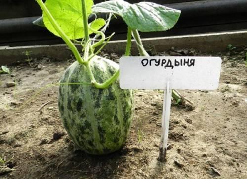 Огурдыня выращивание в подмосковье