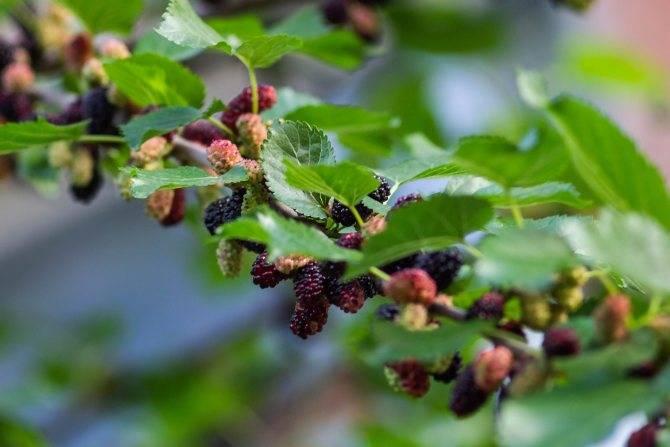 Листья шелковицы лечебные свойства