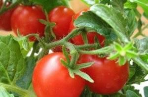 """Томат """"красная шапочка"""": характеристика, описание сорта, выращивание и фото помидоров"""
