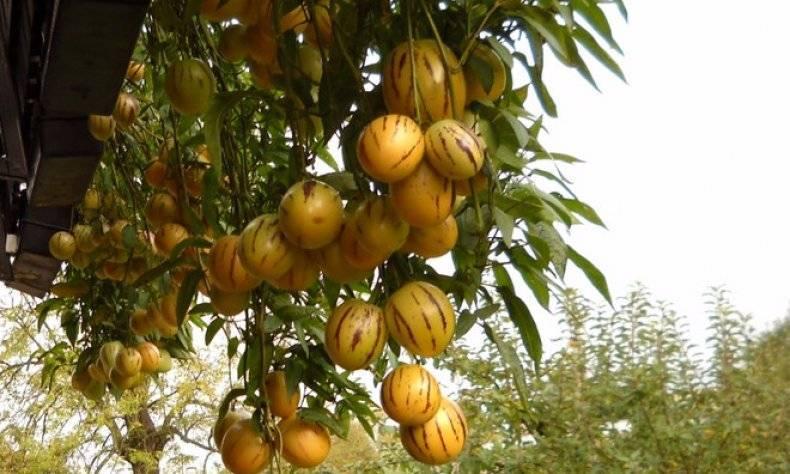 Клубника на балконе: пошаговое руководство по выращиванию и уходу за клубникой в домашних условиях (видео + 135 фото)
