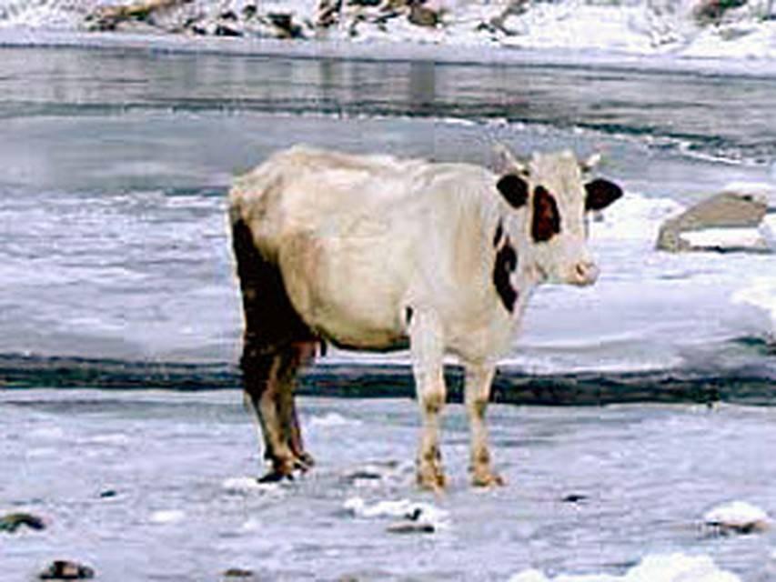 Сонник корова рогами сломала дверь. к чему снится корова рогами сломала дверь видеть во сне - сонник дома солнца. страница 4