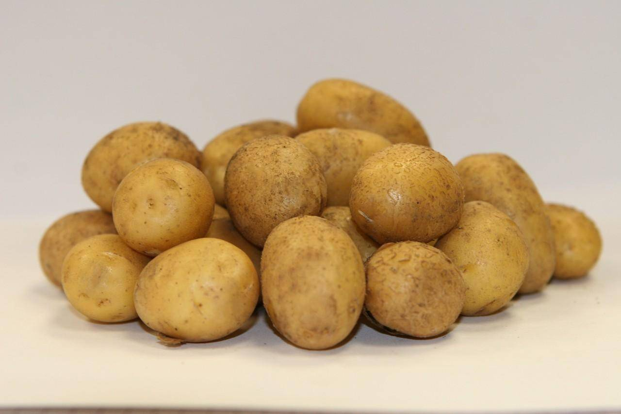 Сорт картофеля «молли» – описание и фото