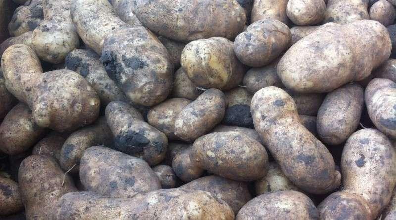 Овощ картофель: посадка и уход в открытом грунте, фото, выращивание из семян, уборка и хранение