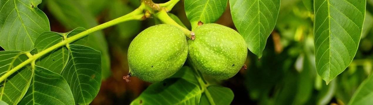 Причины сбрасывания завязей у вишни
