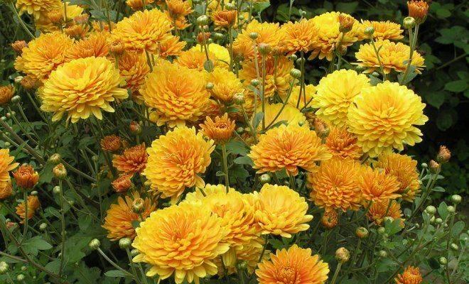 Удобрения для хризантем: чем подкормить весной и осенью