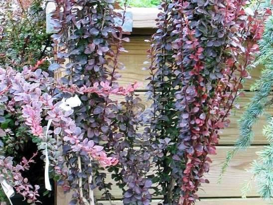 Агротехника выращивания барбариса кобальта в открытом грунте: как ухаживать