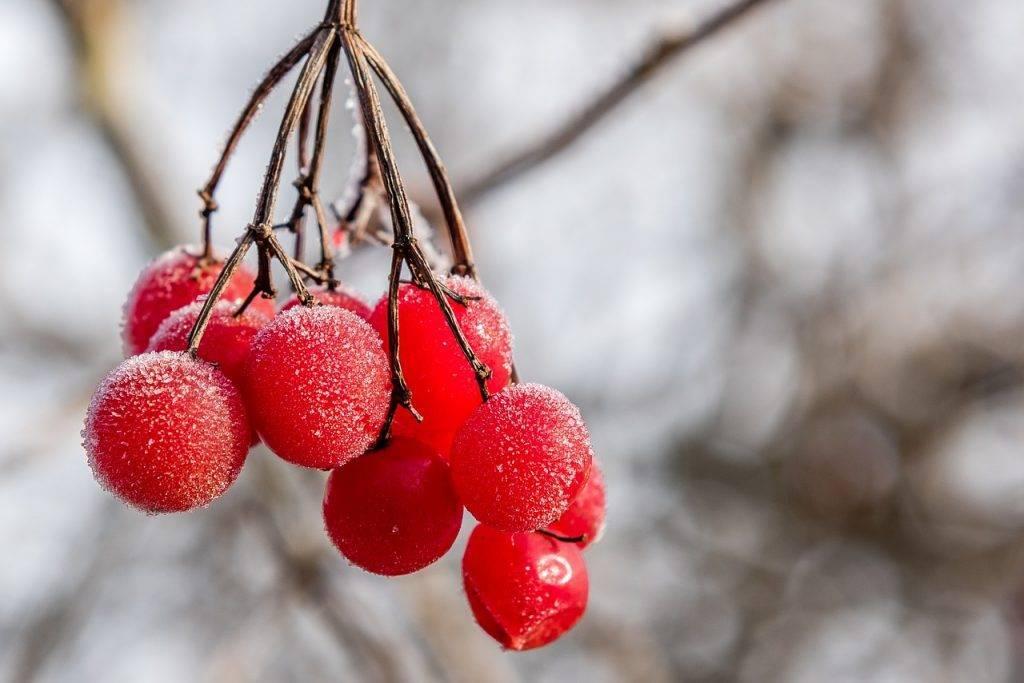 Камчатская жимолость — описание и лучшие сорта