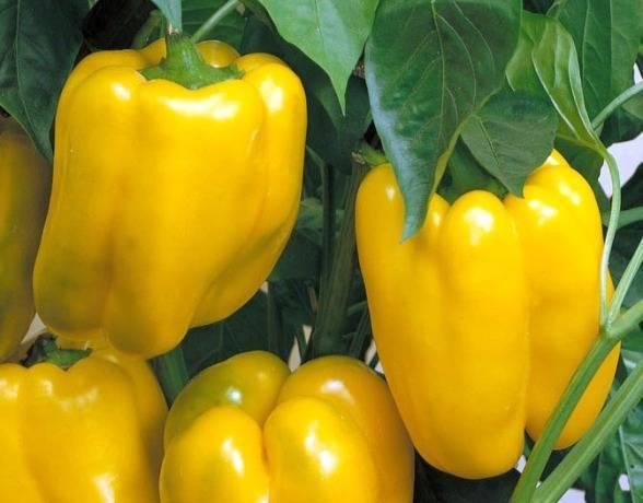 Перец сладкий: гигант желтый f1. внешнее описание, положительные и негативные качества, основы выращивания