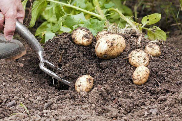 Когда можно копать молодую картошку после цветения - огородо