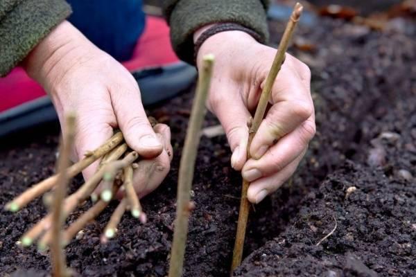 Размножение смородины черенками весной