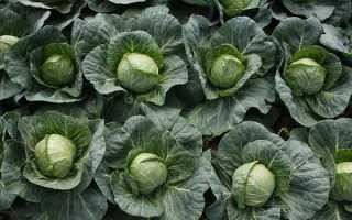 Мегатон f1 — урожайный гибрид капусты