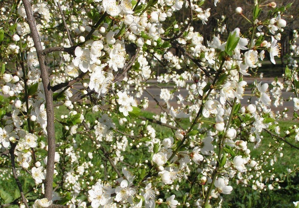 Почему не цветет миндаль декоративный. миндаль декоративный кустарник: посадка и уход