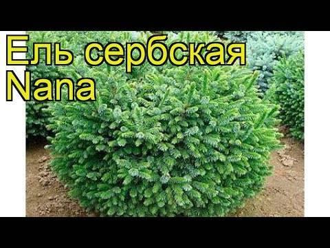Ель сербская 'нана', фото, описание, посадка, выращивание, уход