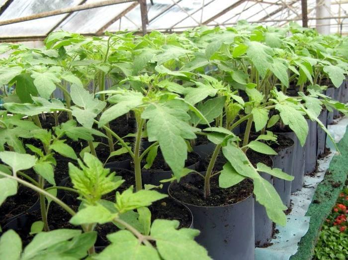 Уход за рассадой помидор в домашних условиях - пошаговая инструкция!