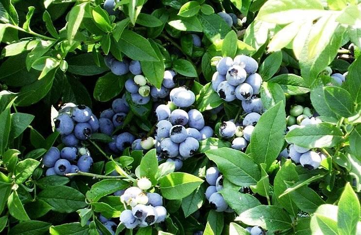Голубика сорта патриот: отличительные качества, описание, способы выращивания, отзывы