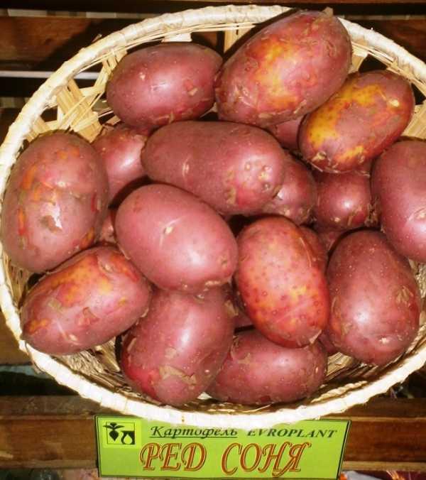 Картофель Ред леди