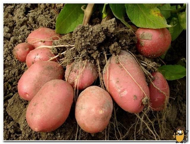 Характеристика и фото картофеля ароза, его урожайность, отзывы