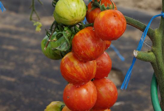 Полосатый томат «арбузный»: описание, характеристика уникального сорта и фото