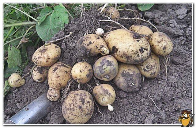 Картофель «сантэ» — проверенный сорт селекции прошлого века
