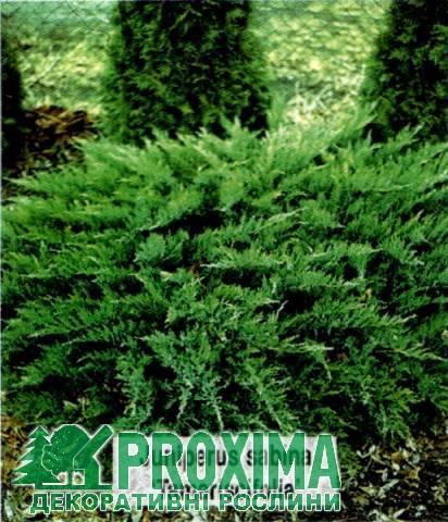 О можжевельнике тамарисцифолия казацкий: описание сорта, как посадить, ухаживать