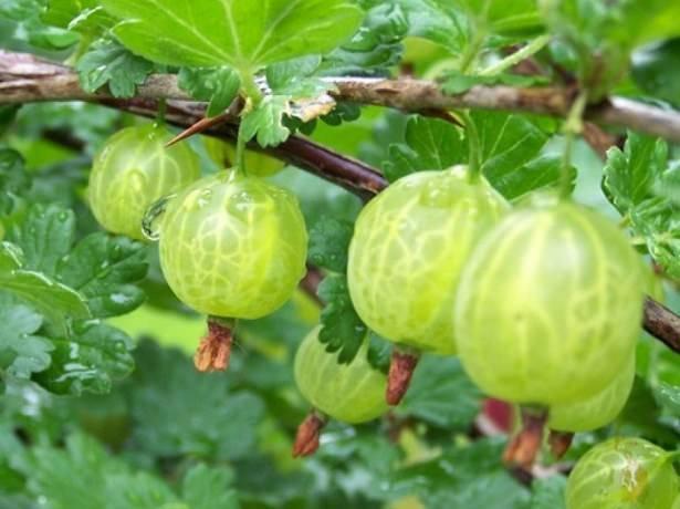 Крыжовник с розово-красными плодами русский красный: основные характеристики, внешний вид