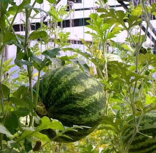 Выращивание арбузов в теплице из поликарбоната - пошаговая инструкция