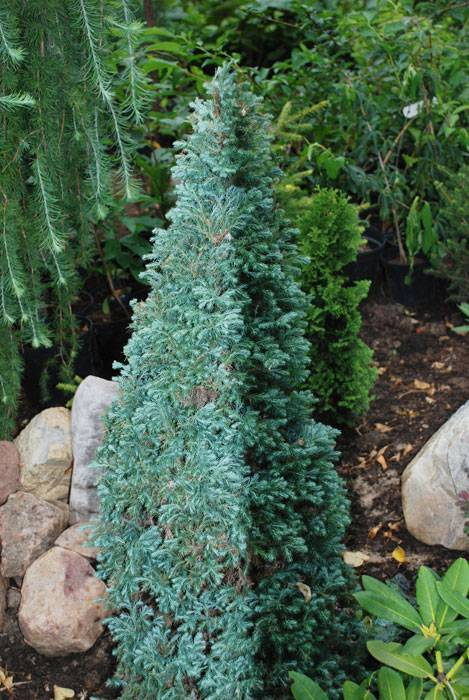 Кипарисовик лавсона ивонне: описание растения, особенности выращивания