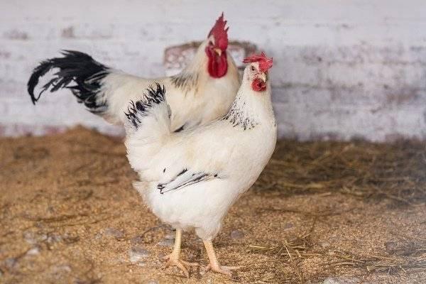 Адлерская серебристая порода кур: описание, фото, отзывы