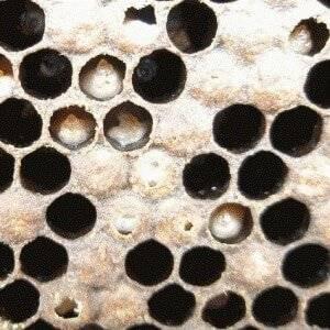 Как побороть аскосфероз пчел?