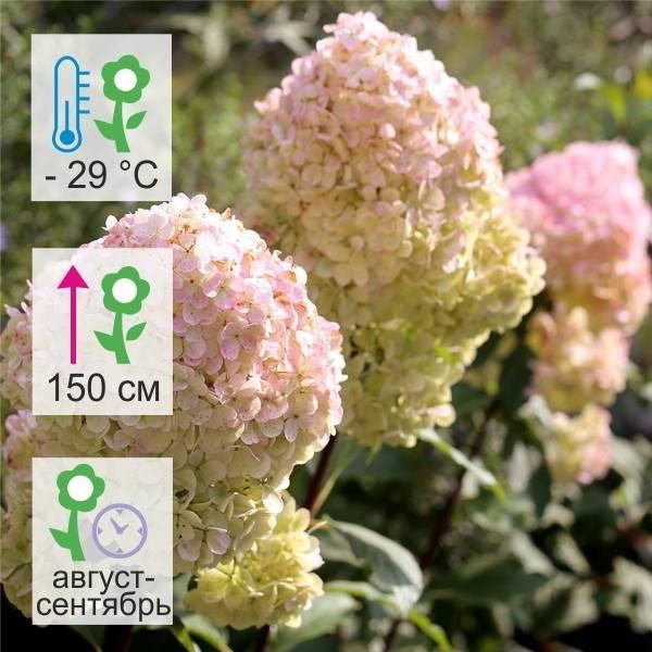 О сорте гортензии мэджикал мунлайт: описание сорта, как посадить и ухаживать