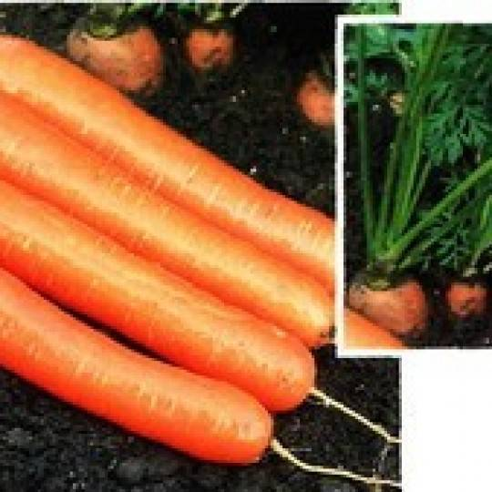 Морковь дордонь: описание и характеристика, отличительные черты и история селекционирования, достоинства и недостатки, а также нюансы выращивания и похожие сорта