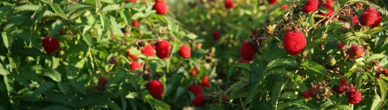 Малиновая гряда — новый ремонтантный сорт малины: сроки созревания, урожайность