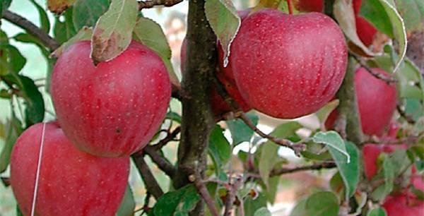 Яблоня «пепин шафранный»: уход, урожайность, характеристика