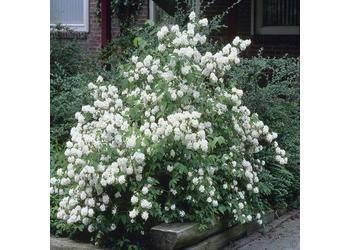 Чубушник 'mont blanc' — википедия. что такое чубушник 'mont blanc'