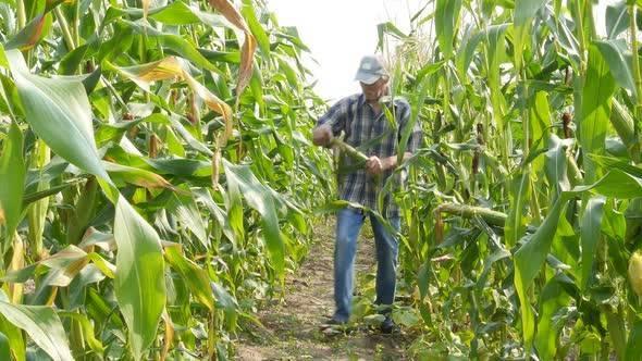 Кукуруза: особенности выращивания и ухода