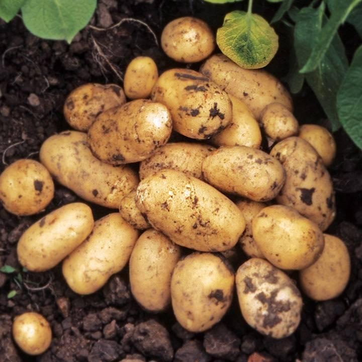 "Картофель ""гренада"": описание сорта, фото, характеристики картошки, посадка и уход"