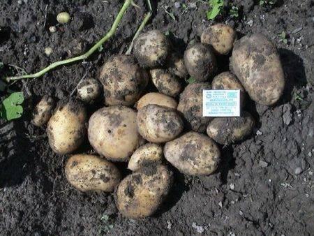 Сорт картофеля сверхраннего созревания «каратоп»