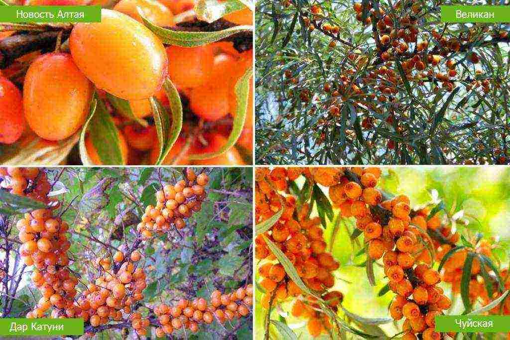 Облепиха это дерево или кустарник? выращивание облепихи в домашних условиях - pocvetam.ru