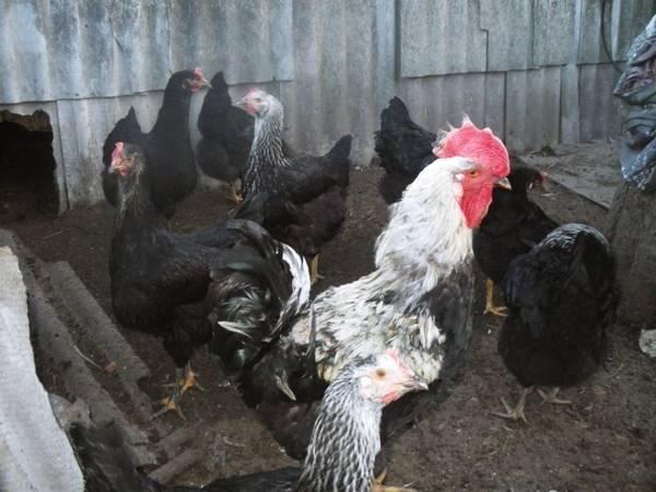Описание и разведение юрловских голосистых кур