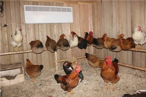 Кучинская юбилейная порода кур: описание и фото, характеристики, выращивание цыплят и петухов, инкубация яиц