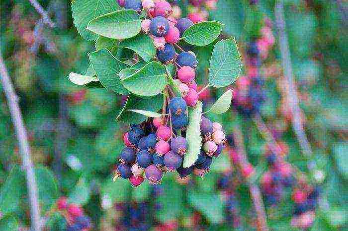 Ирга, или июньская ягода
