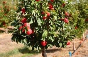 Карликовые деревья для сада: описания и советы по уходу