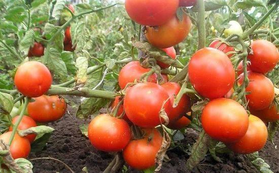 Сорта томатов устойчивых к фитофторе