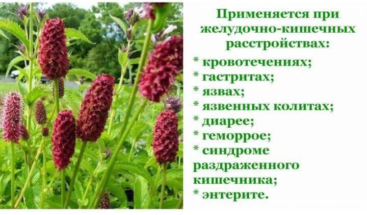 Кровохлебка лекарственная – лечебные свойства и противопоказания, применение в народной медицине - lechilka.com