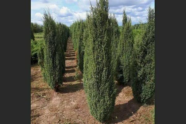 Верес или можжевельник обыкновенный: правила выращивания