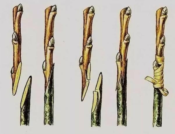 Как привить шелковицу (тутовник)