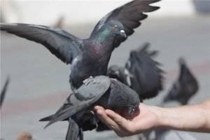 Список продуктов, которыми можно кормить голубей